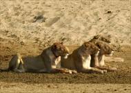 Lionesses staring at Zebras