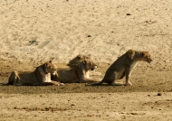 Lions f. interested by a herd…