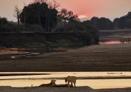 Peaceful Lions at sunset
