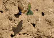 Nests are burrows dug into….