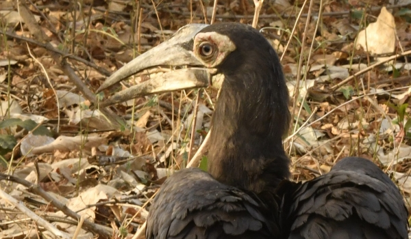 southern ground hornbill – juv
