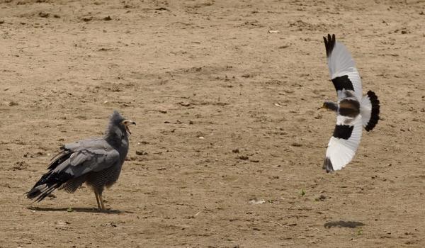 White-crowned Lapwing….