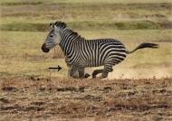 Lionesses hunting Zebras