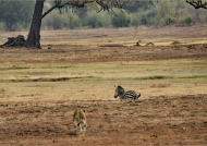 Lionesses hunting Zebra