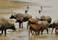 Cple of Saddle-billed Storks…