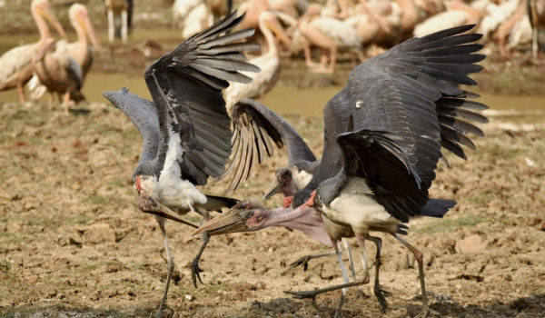Marabou Storks with a catfish