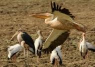 White Pelican – wingspan 3 m