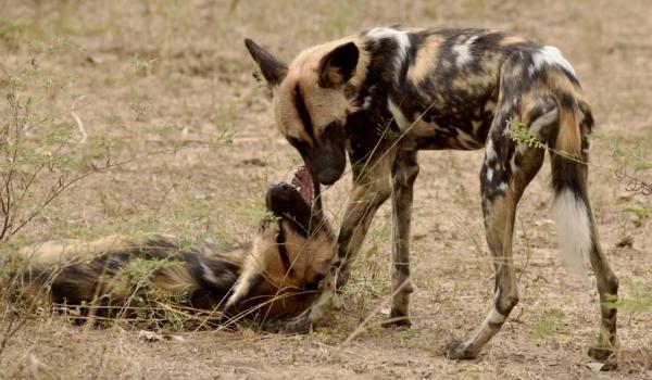 Wild Dogs – social behavior