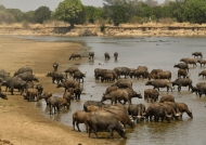 the herd of Cape Buffaloes…