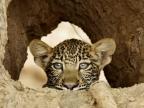 Leopards & Cubs