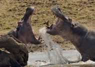Dominant Hippo on the left
