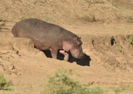 Hippo going to the water