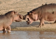 Hippos nose to nose