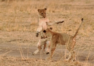 Female Lion cubs playing