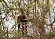 Bushbuck m. on a mound
