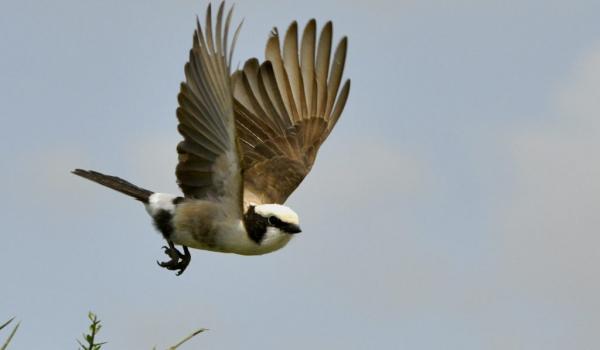 North.White-crowned Shrike