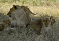 We are four cubs in all…
