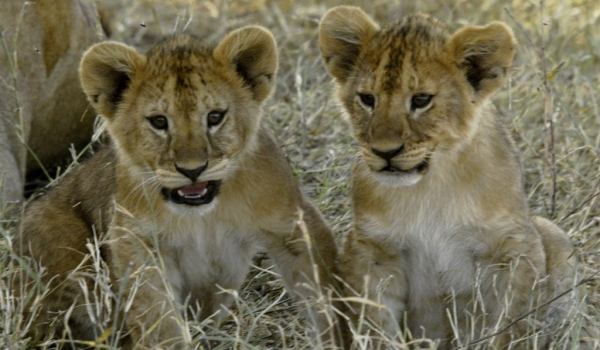 We are 2 Lion cub brothers…