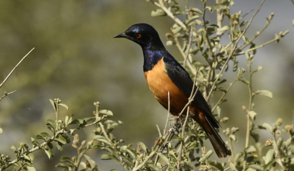 Hildebrandt's Starling