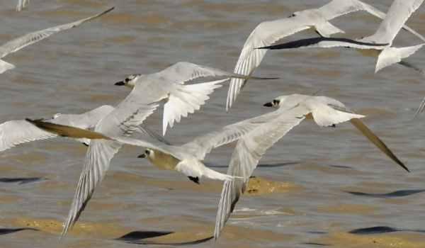 White-winged Terns