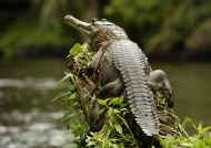 Slender-snouted Crocodile…