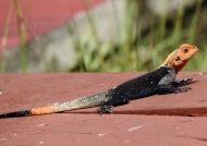 Common Agama Lizard