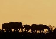 Buffaloes at sunset