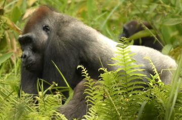 Gabon – Western Lowland Gorillas