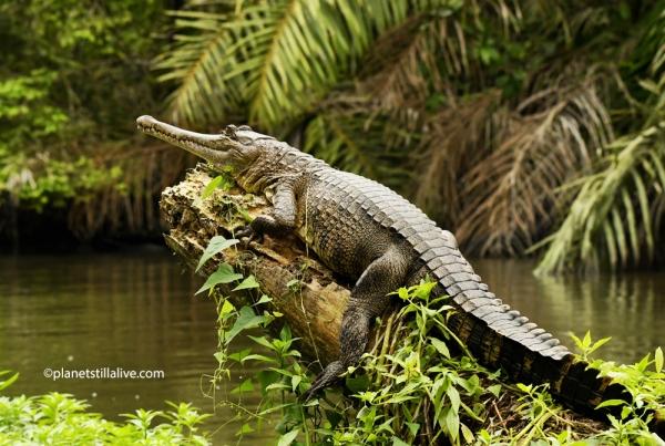 GABON – CENTRAL AFRICAN SLENDER-SNOUTED CROCODILE