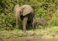 Female Elephant with baby,