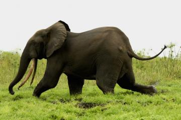 Gabon – Forest Elephants