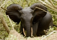 Forest Elephant – male