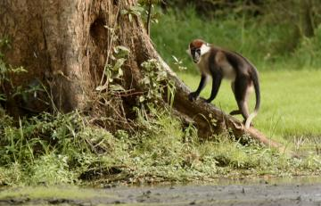 Gabon – Red-capped Mangabeys