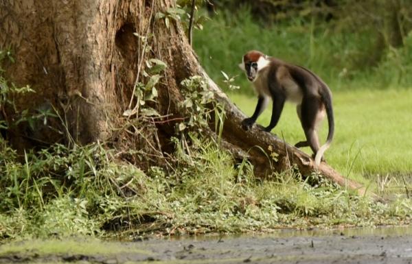 Gabon – Red-capped Mangabeys