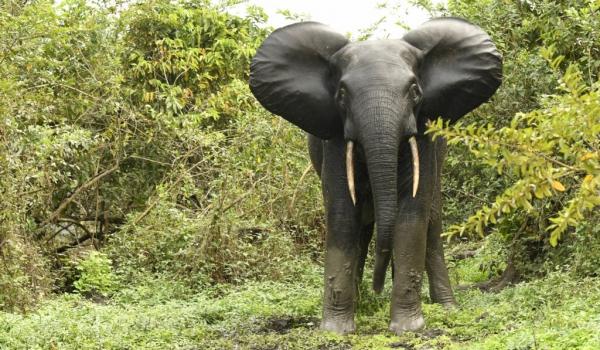 Forest Elephant – female