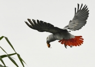 Grey Parrot with a palm nut