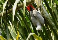 Acrobat Grey Parrot