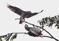Grey Parrots first approach