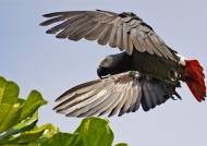 Grey Parrot