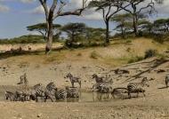 Zebras gathering…
