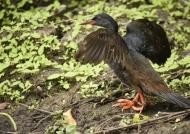 African Finfoot-male breeding