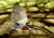Giant Kingfisher – male