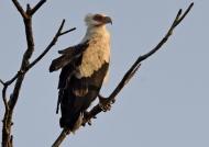 Palm-nut Vulture