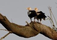 Palm-nut Vultures