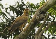 Palm-nut Vulture – juvenile