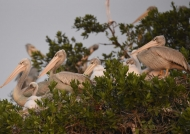 Pelicans with chick and juv.