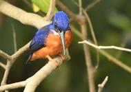 Shining-blue Kingfisher – m.