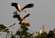 Yellow-billed Storks