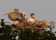 Pelican & chicks in the nest