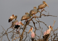 ….Yellow-billed Storks